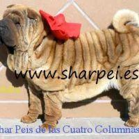 impresionantes cachorros shar peis americanos sobretipados