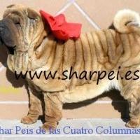 sharpeis cachorros 100% americanos muy sobretipados